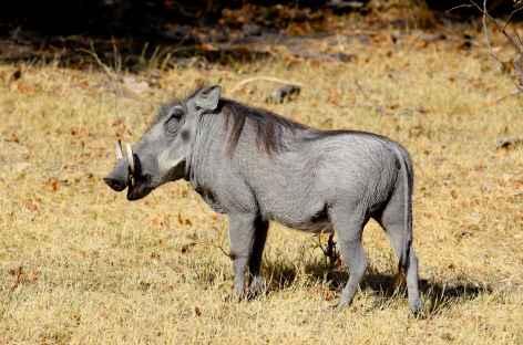Phacochère, réserve de Mahango - Botswana -