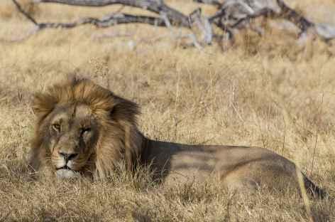 Lion dans la réserve de Moremi - Botswana -