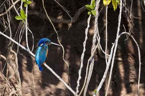 Martin-pêcheur, rivière Chobe - Botswana -