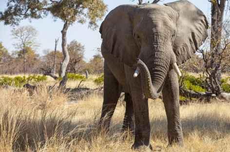 Eléphant - Botswana -