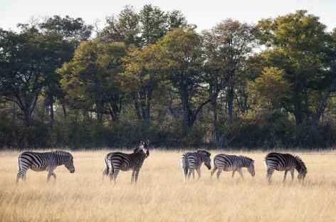 Zèbres à Moremi - Botswana -