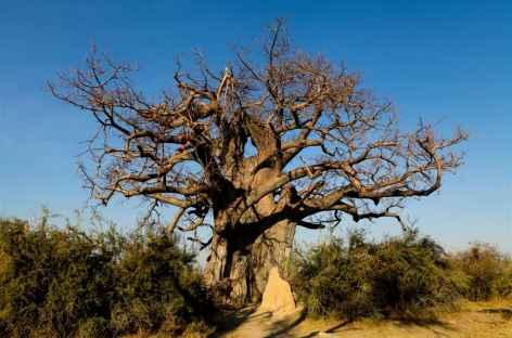 Baobab millénaire, réserv de Mahango - Namibie -