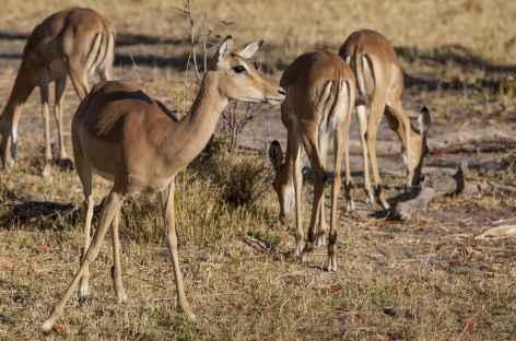 Femelle impala aux aguets, Réserve de Moremi - Botswana -