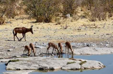 Bubale et femelles impalas dans le parc d'Etosha - Namibie -