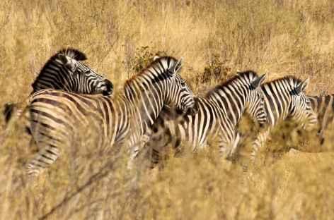 Troupeau de zèbres - Botswana -