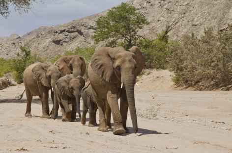 Troupeaux d'éléphants du désert, Damaraland - Namibie -