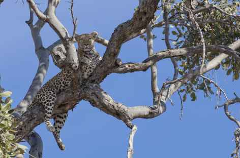 Léopard, réserve de Moremi - Botswana -