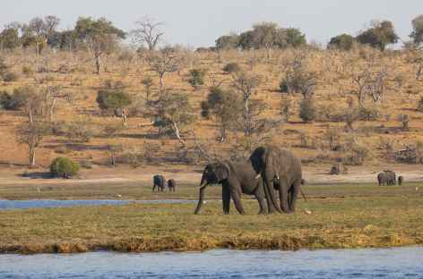 Eléphants sur les rives de la rivière Chobe - Botswana -