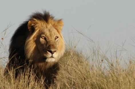Lion à crinière noire , désert du Kalahari - Namibie -