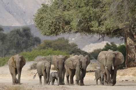 Eléphants du désert, Hoarusib - Namibie -