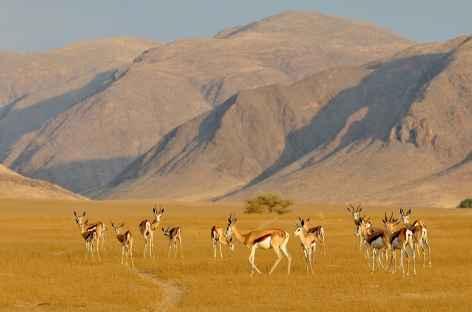 Troupeau de springboks dans le Khumib, Kaokoland - Namibie -
