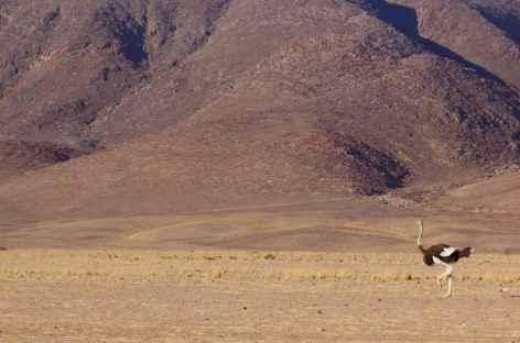 Autruche, Kaokoland - Namibie -