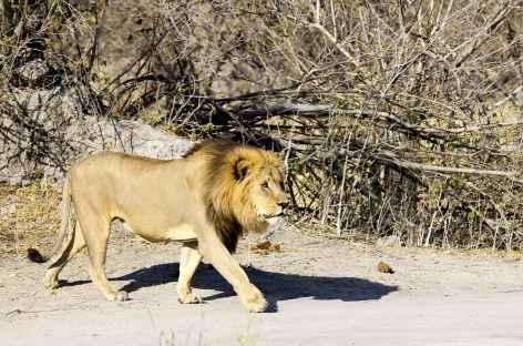 Lion dans le parc national d'Etosha - Namibie -