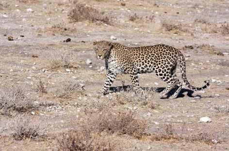 Guépard à Etosha - Namibie -