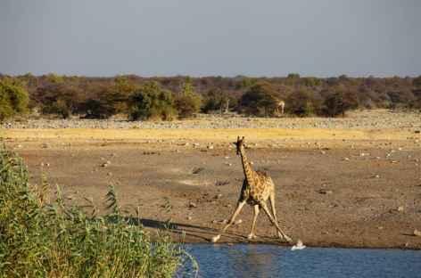 Girafe à Etosha - Namibie -