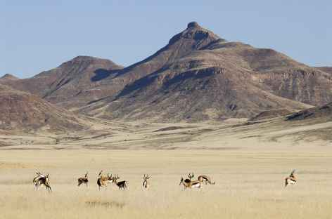Springboks, Damaraland - Namibie -