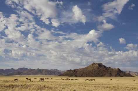 Troupeau de zèbres le long de la D707 entre Aus et Sesriem - Namibie -