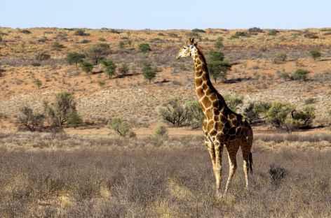 Girafe, Kgalagadi Transfrontier Park - Afrique du Sud -