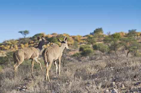 Femelles koudous, Kgalagadi Transfrontier Park - Afrique du Sud -