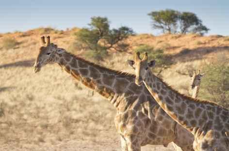 Girafes, Kgalagadi Transfrontier Park - Afrique du Sud -