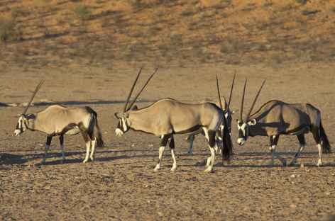 Oryx, Kgalagadi Transfrontier Park - Afrique du Sud -
