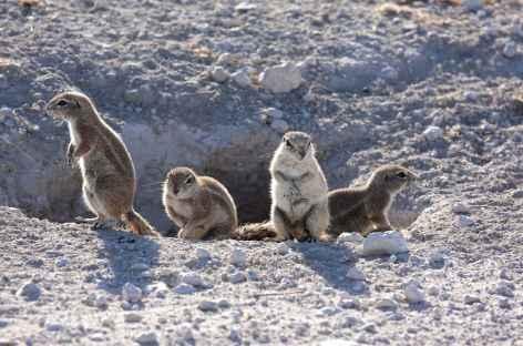 Ecureuils terrestres - Namibie -