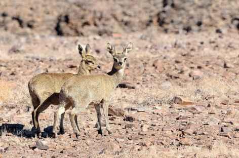 Oréotragues dans les environs du Fish River Canyon - Namibie -