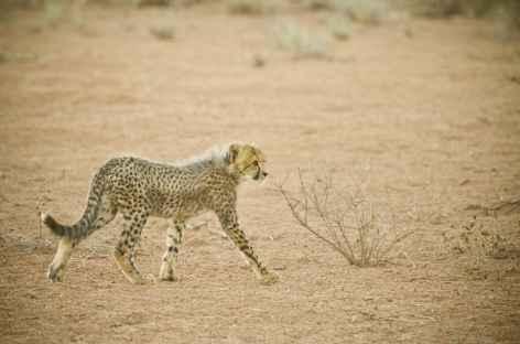 Jeune guépard, Kgalagadi Transfrontier Park - Afrique du Sud -
