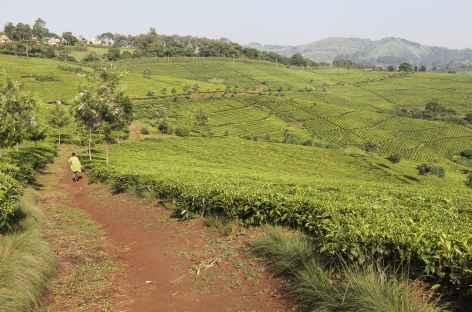 Magnifiques champs de thé entre Kibale et Fort Portal - Ouganda -