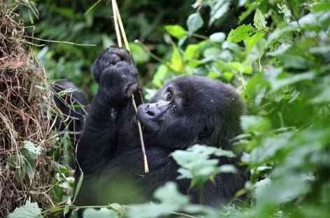 Jeune gorille, forêt impénétrable de Bwindi - Ouganda -