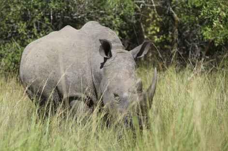 Pistage des rhinocéros blancs à pied, sanctuaire de Ziwa - Ouganda -