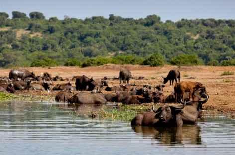 Troupeau de buffles, Kazinga Channel, parc de Queen Elisabeth - Ouganda -