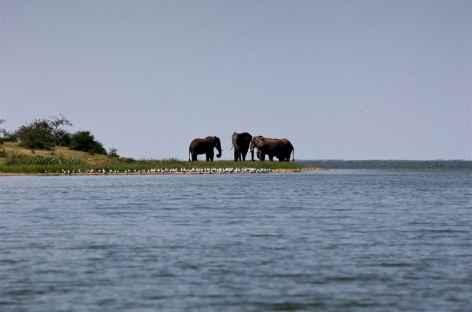Eléphants, Kazinga Channel, parc de Queen Elisabeth - Ouganda -
