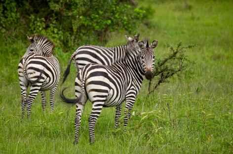 Zèbres dans le parc de Mburo - Ouganda -