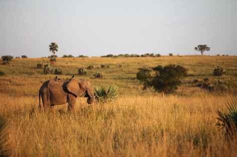 Eléphant dans la savane de Murchinson - Ouganda -