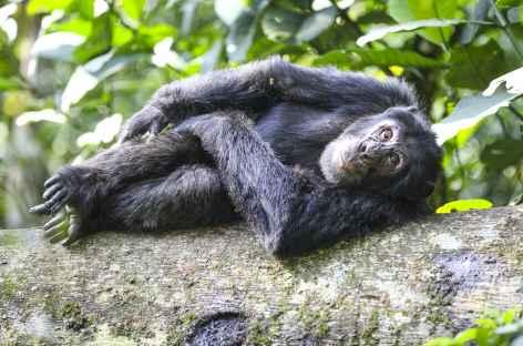 Observation des chimpanzés dans la forêt de Kibale - Ouganda -