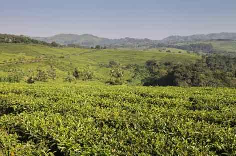 Plantation de thé entre Fort Portal et la forêt de Kibale - Ouganda -