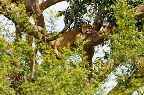 Lion arboricole, Parc national de Queen Elisabeth - Ouganda -