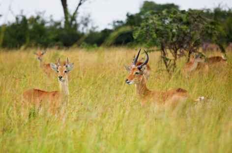 Cobes d'Ouganda, savane du parc Queen Elisabeth - Ouganda -