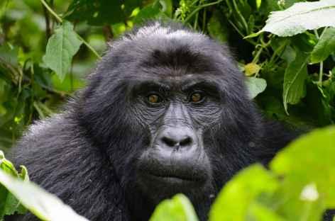 Gorille male au dos argenté, forêt impénétrable de Bwindi - Ouganda -