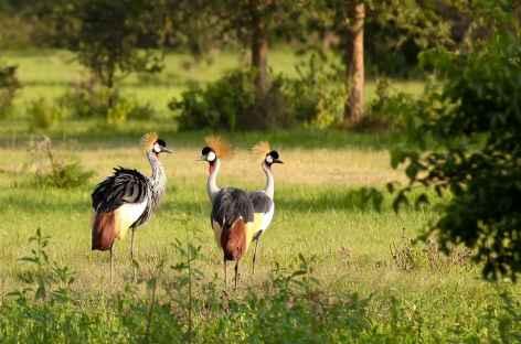 Grues couronnées, emblème du pays, parc de Mburo - Ouganda -