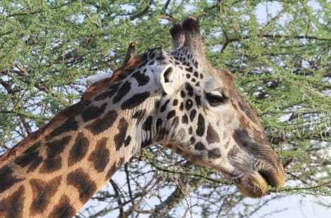 Girafe à Manyara -