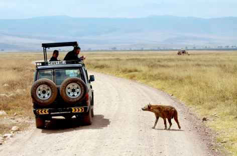 Rencontre avec une hyène, caldeira du Ngorongoro - Tanzanie -