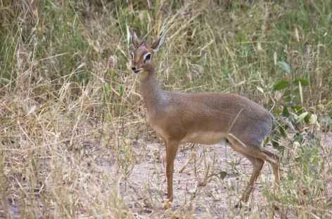 Dik-dik, petite antilope - Tanzanie -