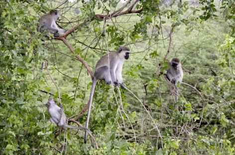 Dans le parc de Manyara - Tanzanie -