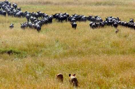 Chasse aux lions - Tanzanie -