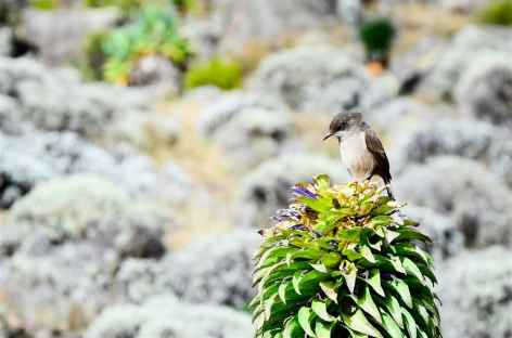 Oiseau sur une lobélies géantes, Kilimanjaro - Tanzanie -