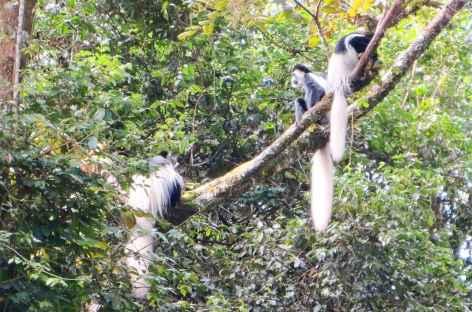 Colobes blancs et noirs, espèce endémique au Kilimanjaro - Tanzanie -