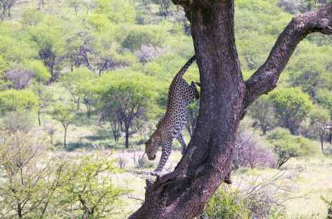 Léopard, Parc national du Tarangire - Tanzanie -