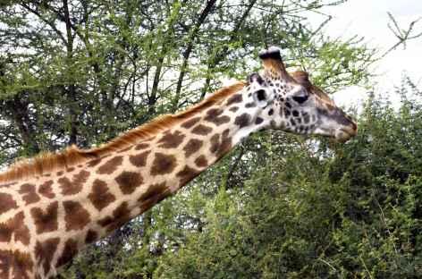 Girafe dans le parc du Tarangire - Tanzanie -